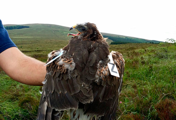 photo of a young Hen Harrier with one of our custom made tags